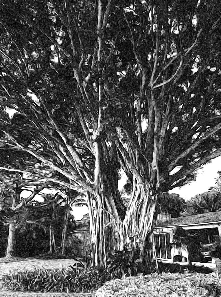 Ancient Ficus